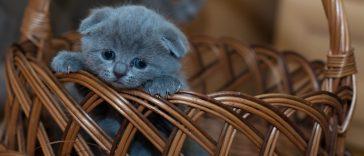 Kitten, Poes