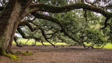 oudste bomen van Nederland